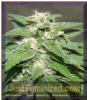Dr Underground Kong 47 Female 8 Seeds